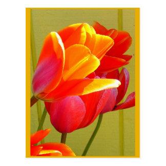 Esplendor del tulipán tarjetas postales