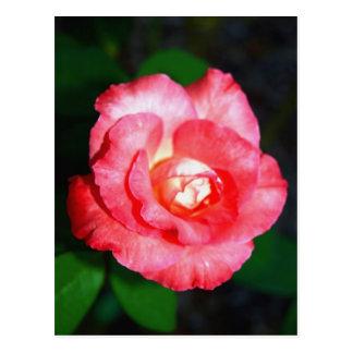 Esplendor rosado postal