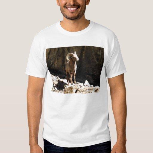 Espolón de las ovejas de Bighorn cerca de rocas en Poleras