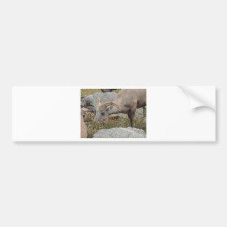Espolón de las ovejas del Big Horn de la montaña Pegatina Para Auto