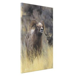 Espolón de las ovejas del Big Horn, lona de bella  Lienzo Envuelto Para Galerias