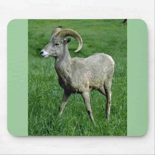 Espolones jovenes de las ovejas de Bighorn Alfombrillas De Raton