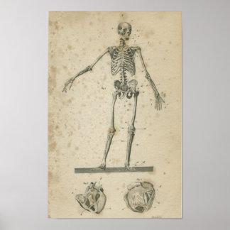 Esqueleto de la impresión de la anatomía de Vinatg Poster