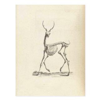 Esqueleto de los ciervos de Guillermo Cheselden Tarjetas Postales
