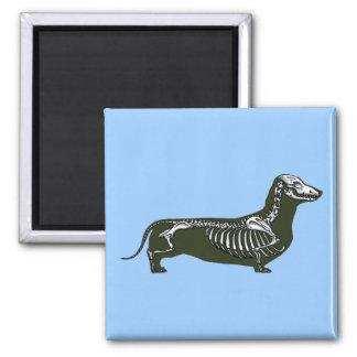 esqueleto del dachshund imán cuadrado