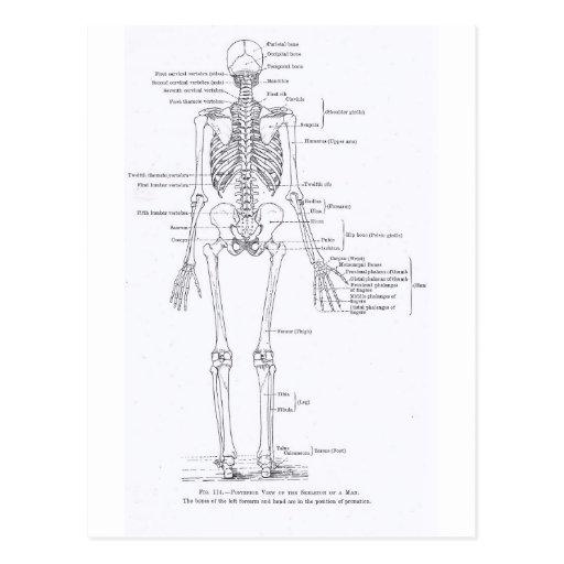 Esqueleto humano, visión frontal completa, postal