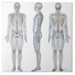Esqueleto masculino 2 azulejo cuadrado grande