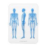 Esqueleto masculino imán flexible
