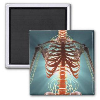 Esqueleto y nervios imán cuadrado