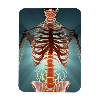 Esqueleto y nervios imán foto rectangular