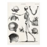 Esqueletos antiguos esqueléticos de la anatomía de postal