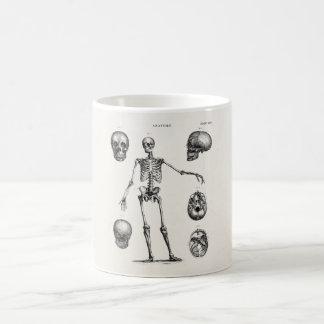 Esqueletos antiguos esqueléticos de la anatomía de taza básica blanca