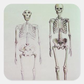 Esqueletos del australopiteco Boisei Pegatina Cuadrada