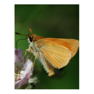 Essex skipper, Thymelicus lineola Postcard