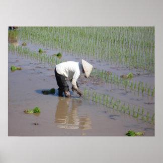 Establecimiento del arroz en los campos de Vietnam Póster