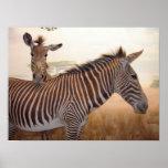 Estampado de animales - África - cebra Posters