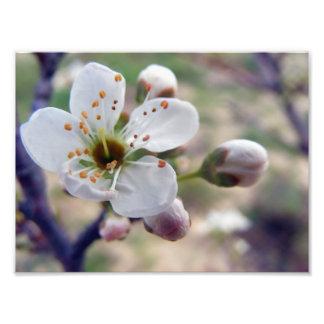 Estampado de flores del ciruelo fotografía