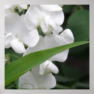 Estampado de flores del guisante de olor póster