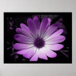 Estampado de flores púrpura de la margarita impresiones