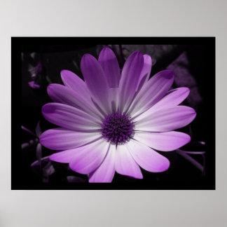 Estampado de flores púrpura de la margarita póster