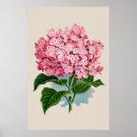 Estampado de flores rosado del Hydrangea del vinta Poster