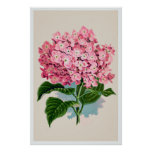 Estampado de flores rosado del Hydrangea del vinta Impresiones