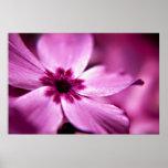 Estampado de flores rosado del Phlox enano Poster