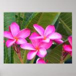 Estampado de flores rosado del Plumeria Impresiones