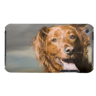 Este perro es perro perdiguero de oro de la parte iPod touch cobertura