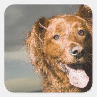 Este perro es perro perdiguero de oro de la parte pegatina cuadrada