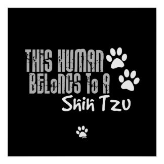 Este ser humano pertenece a un Shih Tzu Póster