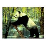 Estiramiento de la yoga de la panda gigante postal