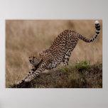 Estiramiento del guepardo impresiones