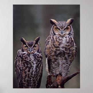 Estos grandes búhos de cuernos virginianus del bu impresiones