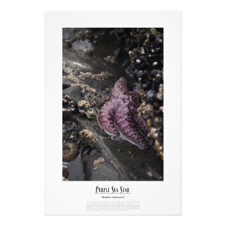 Estrella de mar púrpura en el papel de la foto