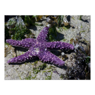 Estrella de mar púrpura poster