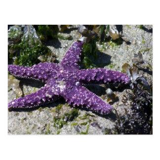 Estrella de mar púrpura postal
