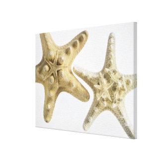 Estrellas de mar del azúcar en una estrella de mar lienzo envuelto para galerias