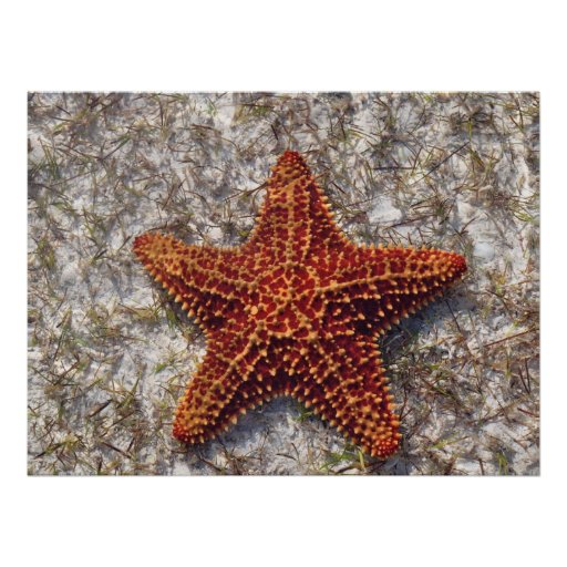 Estrellas de mar del océano póster