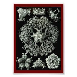 Estrellas de mar frágiles - Ophiodea Cojinete
