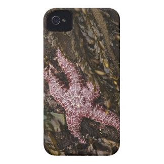 Estrellas de mar Case-Mate iPhone 4 carcasas