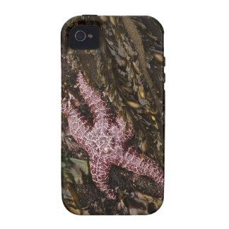 Estrellas de mar iPhone 4/4S funda