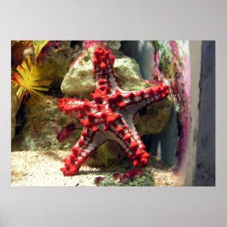 Estrellas de mar nudosas rojas - tiro increíble póster