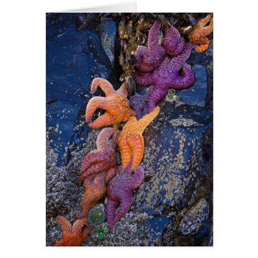 Estrellas de mar Pisaster Ochraceus y estrella de  Felicitación