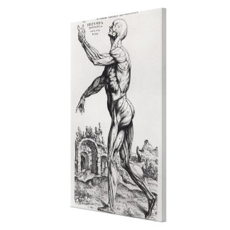 Estructura de la musculatura de un hombre (b/w neg lona estirada galerías