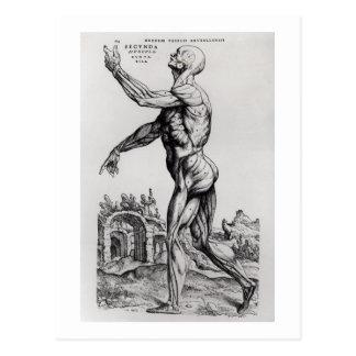 Estructura de la musculatura de un hombre (b/w postal