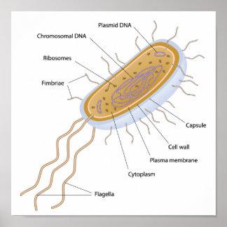 Estructura de un poster bacteriano de la célula