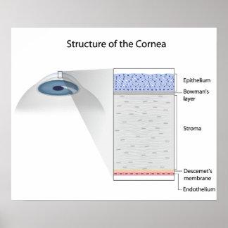 Estructura del poster humano de la córnea