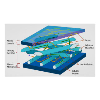 Estructura molecular de la pared celular primaria  posters
