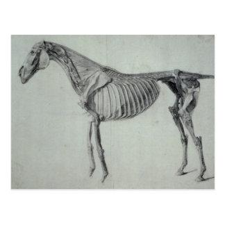 Estudio acabado para la quinta tabla anatómica tarjetas postales
